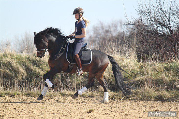 To avlshingste blev A-ponyer i dressur ved Landsstævnet i Herning – Avlsforeningen for New ...