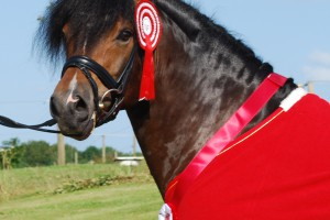 Aarets Hingst 2012 Horsemosens Cayenne C